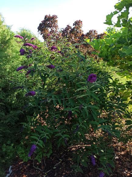 Budleja Dawida Motyli krzew Fioletowa
