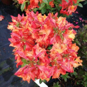 """Azalia Wielkokwiatowa """"Apricot"""" 20-30cm c2,5 (Rhododendron """"Apricot"""")"""