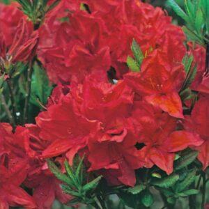 "Azalia Wielkokwiatowa ""Crosswater Red"" 20-30cm c2,5 (Azalea""Crosswater Red"")"