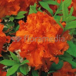 """Azalia Wielkokwiatowa """"Gibraltar"""" 20-30cm c2,5 (Rhododendron """"Gibraltar"""")"""