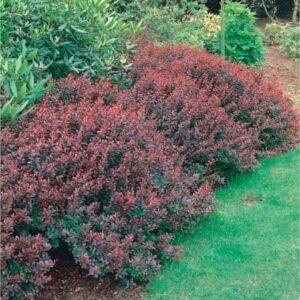 "Berberys Thunberga ""Atropurpurea Nana"" 30-40cm c2 (Berberis thunbergii ""Atropurpurea Nana"")"