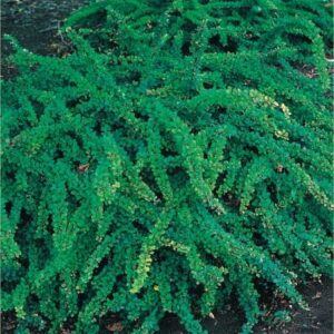 """Berberys Thunberga """"Green Carpet"""" 20-30cm c2 (Berberis thunbergii """"Green Carpet"""")"""