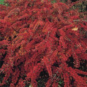 "Berberys Thunberga ""Red Carpet"" (Berberis thunbergii ""Red Carpet"") c2 30-40cm"