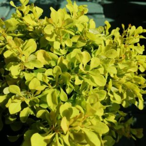 "Berberys Thunberga ""Tini Gold""© 20-30cm c2 (Berberis thunbergii ""Tini Gold"")"