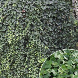 Bluszcz pospolity 60-70cm c2,5 (Hedera helix)