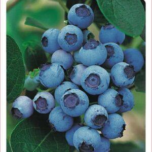 "Borówka amerykańska ""Bluejay"" 30-40cm c2 (Vaccinium corymbosum ""Bluejay"")"