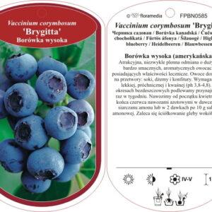 "Borówka amerykańska ""Brigitta"" 30-40cm c2 (Vaccinium corymbosum ""Brigitta"")"