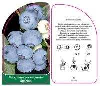 "Borówka amerykańska ""Spartan"" 30-40cm c2 (Vaccinium corymbosum ""Spartan"")"