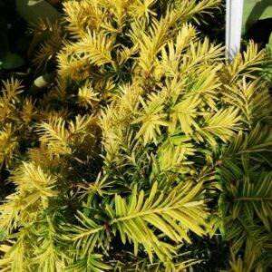 """Cis pospolity """"Aurea"""" 20-40cm c2 (Taxus baccata """"aurea"""")"""