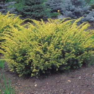 """Cis pospolity """"Elegantissima"""" 20-40cm c2 (Taxus baccata """"Elegantissima"""")"""