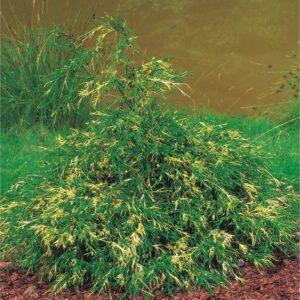 """Cyprysik groszkowy """"Filifera Aurea"""" 20-35cm c2 (Chamaecyparis pisifera """"Filifera Aurea"""")"""