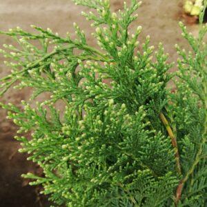 """Cyprysik Lawsona """"Alumigold"""" 20-35cm c2 (Chamaecyparis Lawsoniana """"Alumigold"""")"""
