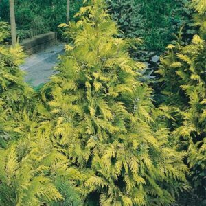 "Cyprysik Lawsona ""Golden Wonder"" 20-35cm c2 (Chamaecyparis Lawsoniana ""Golden Wonder"")"