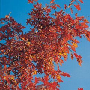 Dąb szypułkowy 30-40cm c2,5 (Quercus robur)