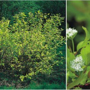 """Dereń biały """"Aurea"""" 30-40cm c2 (Cornus alba """"Aurea"""")"""