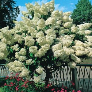 """Hortensja bukietowa """"Grandiflora"""" 30-40cm c2,5 (Hydrangea Paniculata """"Grandifora"""")"""