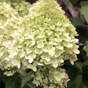 "Hortensja bukietowa ""Limelight"" 30-40cm c2,5 (Hydrangea Paniculata ""Limelight"")"