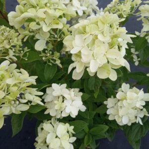 "Hortensja bukietowa ""Magical Candle"" © 30-40cm c2,5 (Hydrangea Paniculata ""Magical Candle"")"