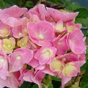 "Hortensja bukietowa ""Pink Beauty"" 30-40cm c2,5 (Hydrangea Paniculata ""Pink beauty"")"