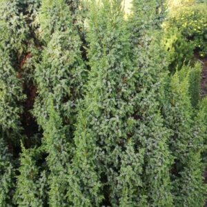 "Jałowiec chiński ""Blue Alps"" 20-35cm c2 (Juniperus chinensis ""Blue Alps"")"