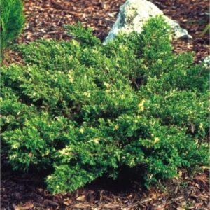 """Jałowiec chiński """"Expansa Variegata"""" 20-35cm c2,5 (Juniperus Chinensis """"Expansa Variegata"""")"""