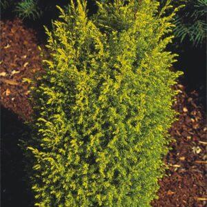 "Jałowiec chiński "" Gold Cone"" 20-30cm c2 (Juniperus chinensis ""Gold Cone"")"