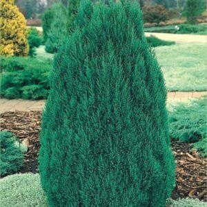 """Jałowiec chiński """"Stricta"""" 20-35cm c2 (Juniperus chinensis """"Stricta"""")"""