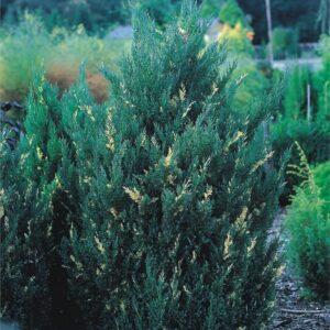 "Jałowiec chiński ""Stricta Variegata"" 20-35cm c2 ( Juniperus chinensis ""Stricta Variegata"")"