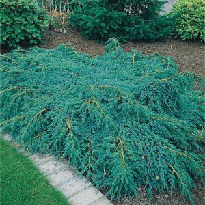 "Jałowiec łuskowy ""Blue Carpet"" 20-30cm c2 (Juniperus squamata""Blue Carpet"")"