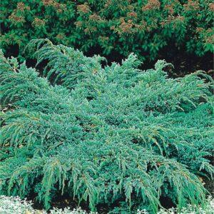 """Jałowiec łuskowy """"Blue Spider"""" 20-30cm c2 (Juniperus squamata""""Blue Spider"""")"""
