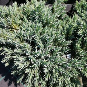 "Jałowiec łuskowy ""Blue Star"" 20-30cm c2 (Juniperus squamata""Blue Star"")"