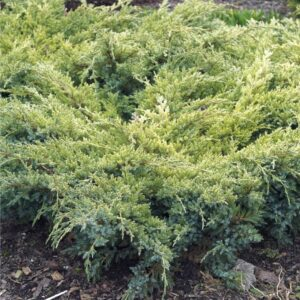 "Jałowiec łuskowy ""Dream Joy"" 20-35cm c2 (Juniperus squamata""Dream Joy"")"