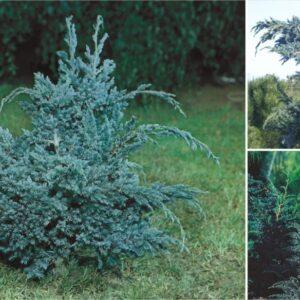 "Jałowiec łuskowy ""Meyeri"" 20-30cm c2 (Juniperus squamata""Meyeri"")"