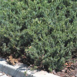 """Jałowiec nadbrzeżny""""Schlager"""" 20-35cm c2 (Juniperus conferta""""Schlager"""")"""
