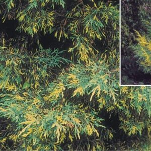 "Jałowiec Pfitzera ""Blue and Gold"" 20-30cm c2 (Juniperus Pfitzera""Blue and Gold"")"