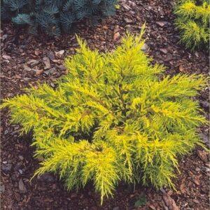 """Jałowiec Pfitzera """"Gold Star"""" 20-30cm c2 (Juniperus Pfitzera""""Gold Star"""")"""
