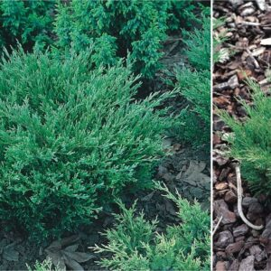 "Jałowiec płożący ""Andorra Compact"" 20-30cm c2 (Juniperus horizontalis""Andora Compact"")"