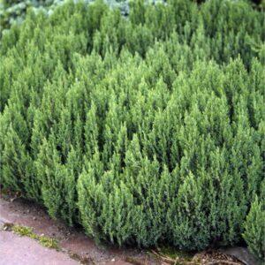 "Jałowiec płożący ""Blue Forest"" 30-50cm c2 (Juniperus horizontalis""Blue Forest"")"