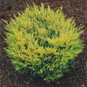 """Jałowiec płożący """"Limeglow"""" 20-35cm c2 (Juniperus horizontalis""""Limeglow"""")"""