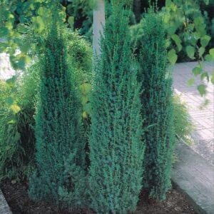 "Jałowiec płożący ""Selntinel"" 20-35cm c2 (Juniperus communis ""Green Sentinel"")"