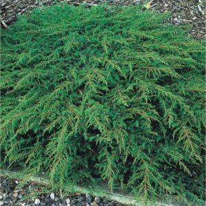 "Jałowiec pospolity ""Green Carpet"" 20-30cm c2 (Juniperus communis ""Green Carpet"")"