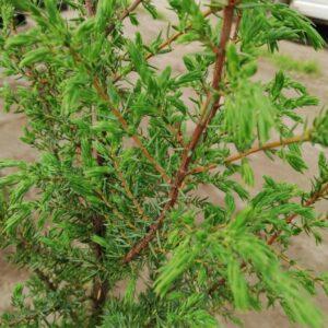 "Jałowiec pospolity ""Hibernica"" (Juniperus communis ""Hibernica"") c2 30-40cm"