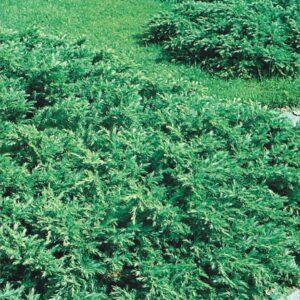 "Jałowiec pospolity ""Repanda"" (Juniperus communis ""Repanda"") c2 30-40cm"