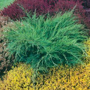 """Jałowiec pośredni """"Mint Julep"""" 20-30cm c2 (Juniperus media""""Mint Julep"""")"""
