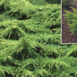 "Jałowiec pośredni ""Mordigan Gold"" 20-30cm c2 (Juniperus xmedia""Mordigan Gold"")"