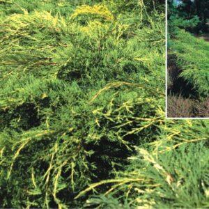 "Jałowiec pośredni ""Old Gold"" 20-30cm c2 (Juniperus xmedia ""Old Gold"")"