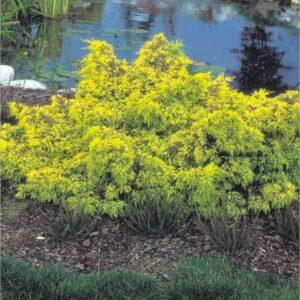 "Jałowiec pośredni ""Pfitzeriana Aurea"" 20-30cm c2 (Juniperus xmedia""Pfitzeriana"")"