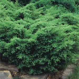"Jałowiec pośredni ""Pfitzeriana Compacta"" 20-30cm c2 Juniperus xmedia""Pfitzeriana Compacta"")"