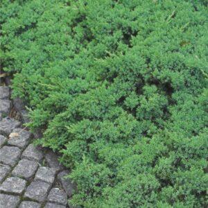 """Jałowiec rozesłany """"Nana"""" 20-35cm c2 (Juniperus procumbens)"""
