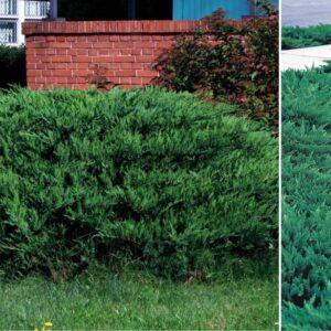 "Jałowiec sabiński ""Tamariscifolia"" 20-30cm c2 (Juniperus sabina""Tamariscifolia"")"